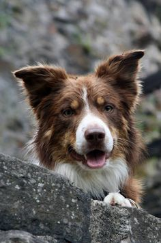 """Red Tri male Border Collie """"Blue Moon Forest Land Chilabo"""" (the Dodge)"""