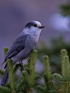 grey jay - aka camp robber - easy to lure in to feed from your hand