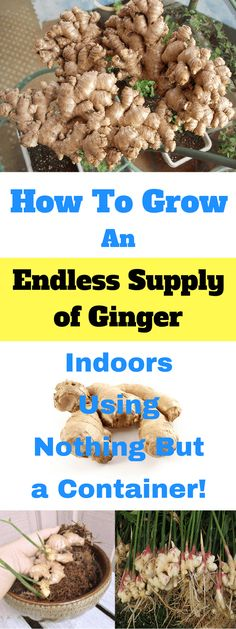 Indoor Vegetable Gardening How to grow ginger indoors - Did you know you can grow ginger indoors all year long Or that you can use part of the root it will continue to grow Learn all about growing ginger here!