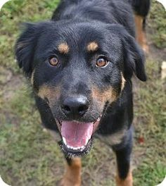 Clarkston, MI - Australian Shepherd/Rottweiler Mix. Meet Arizona, a dog for adoption. http://www.adoptapet.com/pet/11674844-clarkston-michigan-australian-shepherd-mix
