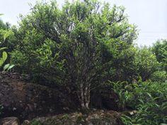 Ancient tea trees, fields of Wudong, China / Vieux théiers centenaires dans les jardins de Wudong, Chine. © Jasmin Desharnais 2014