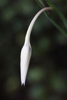 Gladiolus sp. Gladiolus Flower, Dark Flowers, Fungi, Planting Flowers, Bloom, Plants, Cactus, Painting, 3d