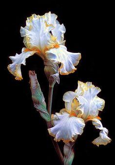 Iris Pair Canvas Print by Dave Mills Iris Flowers, All Flowers, Flowers Nature, Amazing Flowers, Beautiful Flowers, Iris Painting, Iris Garden, Bearded Iris, Flower Photos