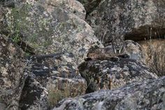 WINNER, ONE SHOT - WILDLIFE & NATURE - LUKE MASSEY, UK Location: Sierra de Andújar National Park, Andalucia, Spain In 2001 there were less than 100 Iberian lynx left in the wild. Fifteen years later there are now more than 400, but it is still, unfortunately, the rarest cat in the world.