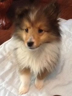 Sheltie Gracie I cannot handle the cuteness. Sheltie pups might be the cute kind of puppies in the world