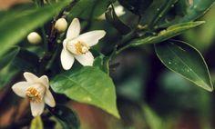 Citrusblüte, Foto: S. Hopp