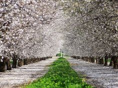Almond Blossoms in Clovis, CA. Clover between rows. By Richard Johnstone.