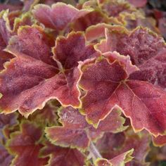 Hostas, Heuchera (Coral Bells) Plants for Sale: varieties/types Buy Plants, Shade Plants, Garden Plants, Hosta Plants, Shade Flowers, Spring Flowers, Coral Bells Plant, Coral Bells Heuchera, Bell Gardens