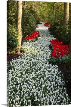 Strip Of White Grape Hyacinths Edged With Red Tulips In Keukenhof Gardens By: Darrell Gulin