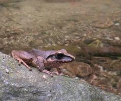 Un sapo Pristimantis terraebolivaris una especie de anfibio habitante de los bosques del valle de Caracas.  Tener la oportunidad de conseguirse con ranas y animales como este nos indican que aún tenemos ambientes sanos que debemos conservar.  Comparte con nosotros tus fotos de Naturaleza usando el HT #VenezuelaEsBiodiversidad y #ColoresDeLaBiodiversidad  Publicada por @pedrocabellom_fotonaturaleza