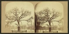 [Old elm tree in winter, Boston Common.] From New York Public Library Digital Collections.