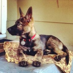 Love all GSDs but extremely fond of the black sable (looks a lot like my Axel when he was little)