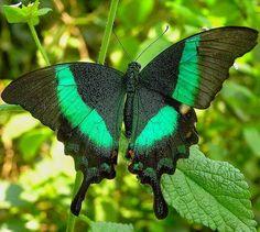 mariposas de colores raras - Buscar con Google