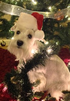 Roxy is ready for Santa! | A community of Schnauzer lovers!