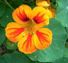 """Garden Nasturtium [Tropaeolum majus] // Tropaeolum  commonly known as nasturtium (literally """"nose-twister"""" or """"nose-tweaker""""), is a genus of roughly 80 species of annual and perennial herbaceous flowering plants. It was named by Carl Linnaeus and is the only genus in the family Tropaeolaceae. The nasturtiums received their common name because they produce an oil that is similar to that of watercress (Nasturtium officinale)."""