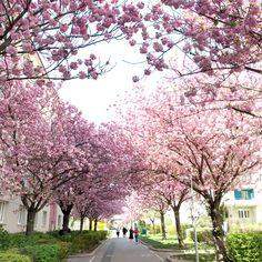 Die besten Kirschblüten Foto Locations in Wien - Kirschblütenblog Cherry Blossom, Plants, Good Photos, Amazing Eyes, Urban Park, Cherries, Nice Asses, Plant, Cherry Blossoms