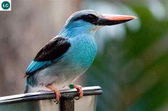 https://www.facebook.com/WonderBirdSpecies/ Blue-breasted kingfisher (Halcyon malimbica); West Africa; IUCN Red List of Threatened Species 3.1 : Least Concern (LC)(Loài ít quan tâm) || Sả ngực lam; Tây Phi; HỌ SẢ/TRẢ (Bói cá cây)-HALCYONIDAE (Tree Kingfishers).