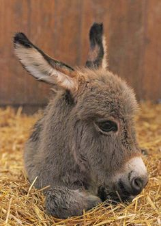 We had a baby mini donkey on our farm. His name is Opie.