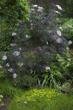 cornus alba 39 sibirica variegata 39 rabatt i vitt och purpur pinterest search. Black Bedroom Furniture Sets. Home Design Ideas