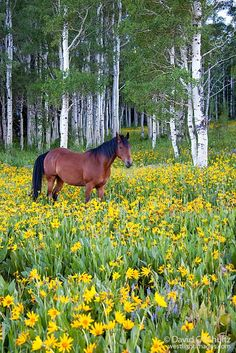 Horse in a field of wildflowers and aspen trees in the Uinta Mountains, Utah. Soapstone Summit.
