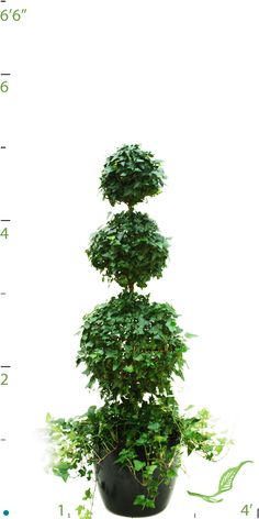 English Ivy, Topiary style Best Indoor Plants, Tropical Plants, Topiary, Ivy Style, Herbs, English, Air Pollution, Floral, Flowers