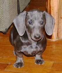 Blue Dachshund... I want one!!!