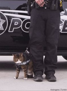 This is why police cats aren't a thing #cute #aww RePin if you liked this!