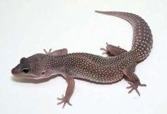 Gecko Leopard-midnight blizzard