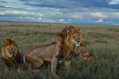 Lion Gangland | Woensdag 18 februari om 18.00 uur | In een verre uithoek van de Serengeti worstelt een leeuwentroep met hitte, tekort aan voedsel en water en een gevaarlijke rivaliserende bende.