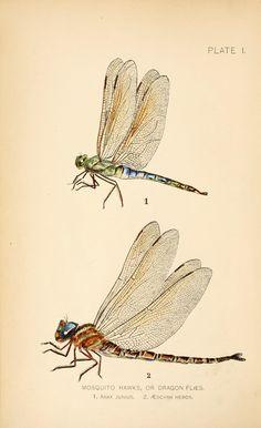 Dragon flies vs. mosquitoes. - Biodiversity Heritage Library