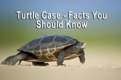 Sea Turtle Stuffed Animals and the State of the Sea Turtle Population Chelydra Serpentina, Feng Shui, Reptiles Et Amphibiens, Ephesians 6 11, Psalm 37, Turtle Facts, Adoption, Armor Of God, Tortoises