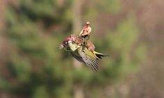 Meme of the woodpecker and the weasel by Martin Le May