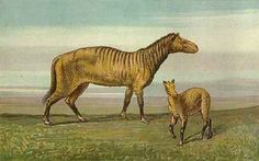 Art illustration - Prehistoric Mammals - Protohippus: is an extinct three-toed genus of horse. It was roughly the size of a modern donkey. Fossil evidence suggests that it lived during the Late Miocene and Early Pliocene, from about 14 Ma to 6 Ma.