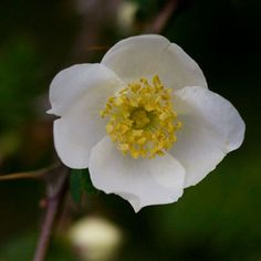 All Rose Species Have 5 Petals, Except for the Rosa Sericea, Which has 4