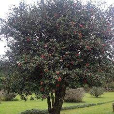 Árvore de camélia vermelha