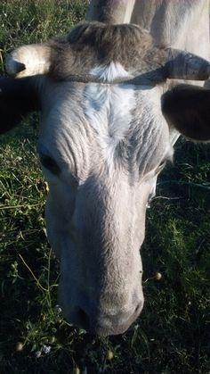 La vaca chuchi