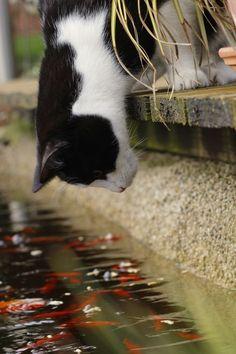 ¿Qué puede estar haciendo este gato? ▪ Mirar su reflejo ▪ Buscar su cena ▪ Tirándose al agua --- ¿Crees que conseguirá atrapar algún pez?