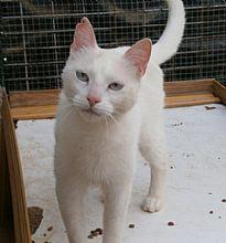 Gata Belga. Esta preciosa dama blanca, cruce de Siamés,  debe su nombre a que la encontramos en la calle Bélgica.
