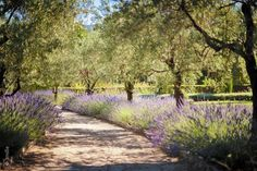 Provence Lavender and Olive Trees by Laurent Saint Jean, via 500px