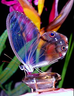 Colorful Transparent Wings Butterfly
