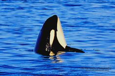 Puget Sound Resident Orca by Sandi Murdock