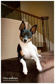 Elizabeth Rat Terrier Dogs, Toy Fox Terriers, Boston Terrier, Small Dog Breeds, Small Breed, Small Dogs, Dog Pictures, Rats, Baby Animals