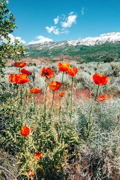 Every summer, Utah has beautiful wildflowers everywhere including the incredible poppy fields of Utah for two weeks in June. Wild Flower Meadow, Wild Flowers, Poppy Flowers, Fresh Flowers, Purple Flowers, Exotic Flowers, Beautiful Flowers, Michigan State Parks, Anemone Flower