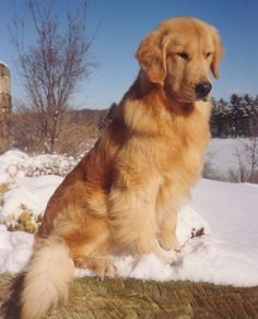 Astonishing Everything You Ever Wanted to Know about Golden Retrievers Ideas. Glorious Everything You Ever Wanted to Know about Golden Retrievers Ideas. Perros Golden Retriever, Chien Golden Retriever, Golden Retrievers, Cute Dogs And Puppies, Baby Dogs, I Love Dogs, Doggies, Chihuahua Dogs, Pet Dogs