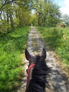 Between the ears of a bay horse traveling a gravel road in sun lightened spring woods