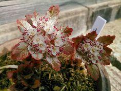Chrysosplenium macrophyllum #flowers #gardning