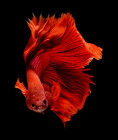 betta fish by visarute