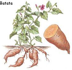 planta de Batata o boniato
