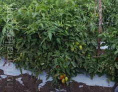 Trellis, Grow Tomatoes, Mesh, Plants