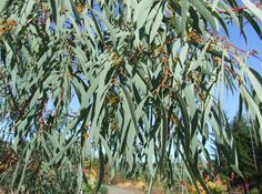"""Eucalyptus nicholii """"Willowleaf Gum"""" Fine linear leaves of the Willow Leaf Gum create a soft appearance. Attractive reddish-tan bark becomes shaggy with age. Evergreen tree to 30' Plant Details: Deer Resistent FullSun Drought Tolerant Lowest appropriate zone: 5º F"""